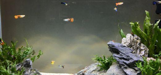Contemporary Fish Tanks Fresh Guppy Tank with Amano Shrimp and Snails Aquarium