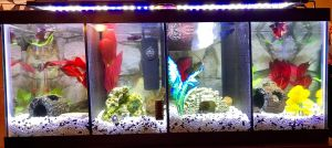 Contemporary Fish Tanks Lovely 20 Gallon Divided Betta Tank Fyi Keep Water Level Lower