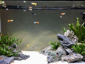 Contemporary Fish Tanks Lovely Guppy Tank with Amano Shrimp and Snails Aquarium