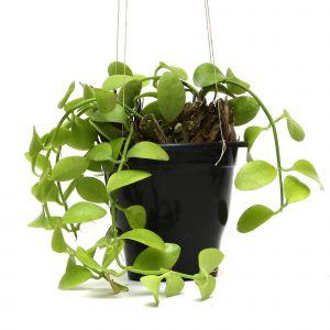 Hanging Indoor Plants Awesome Plants & Pots Hanging Hoya Plants Both Indoor Plant Buy