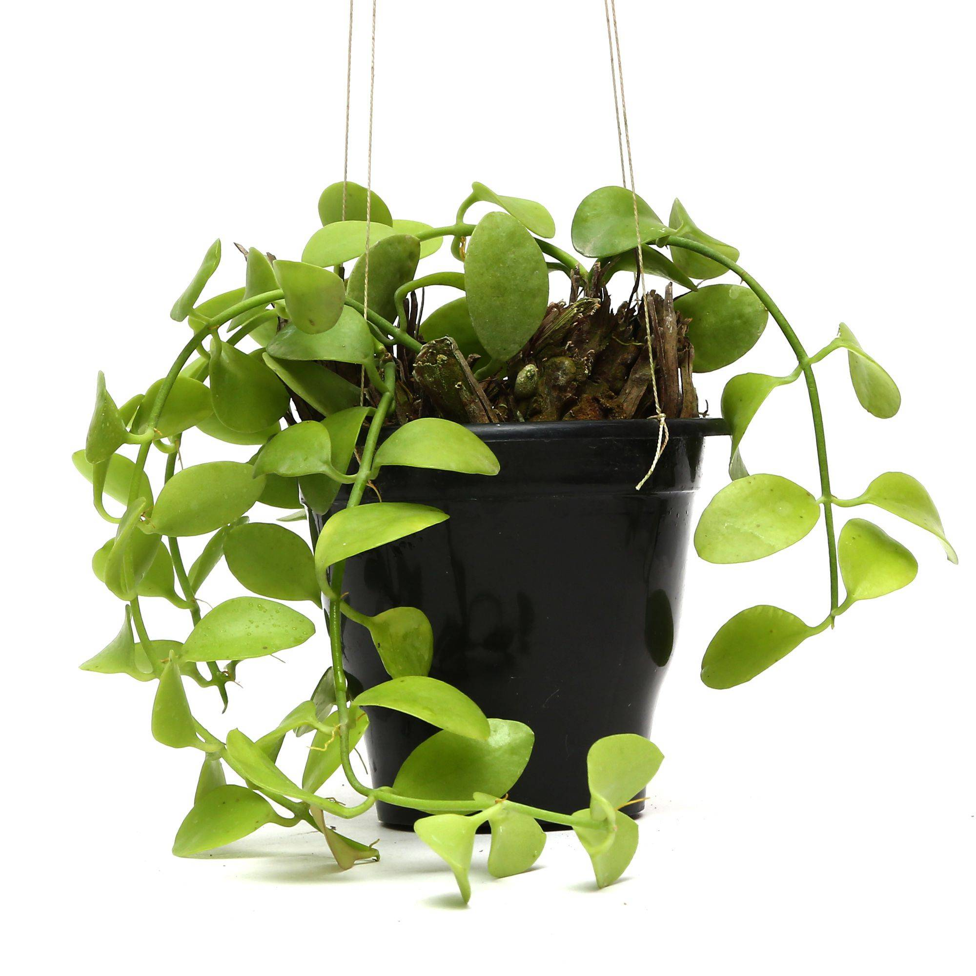 Plants Pots Hanging Hoya Plants SDL 3 0d67d JPG