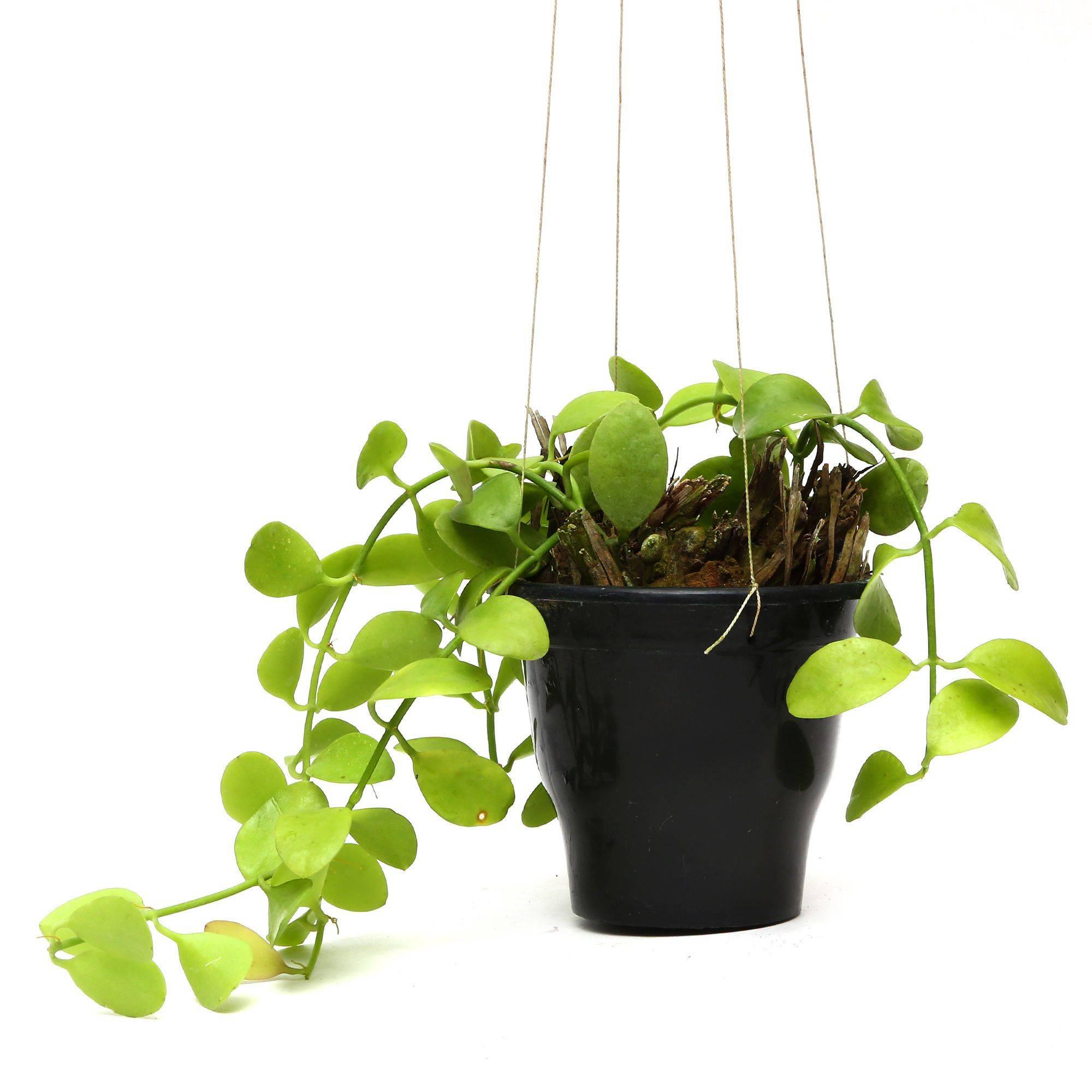 Plants Pots Hanging Hoya Plants SDL 1 JPG