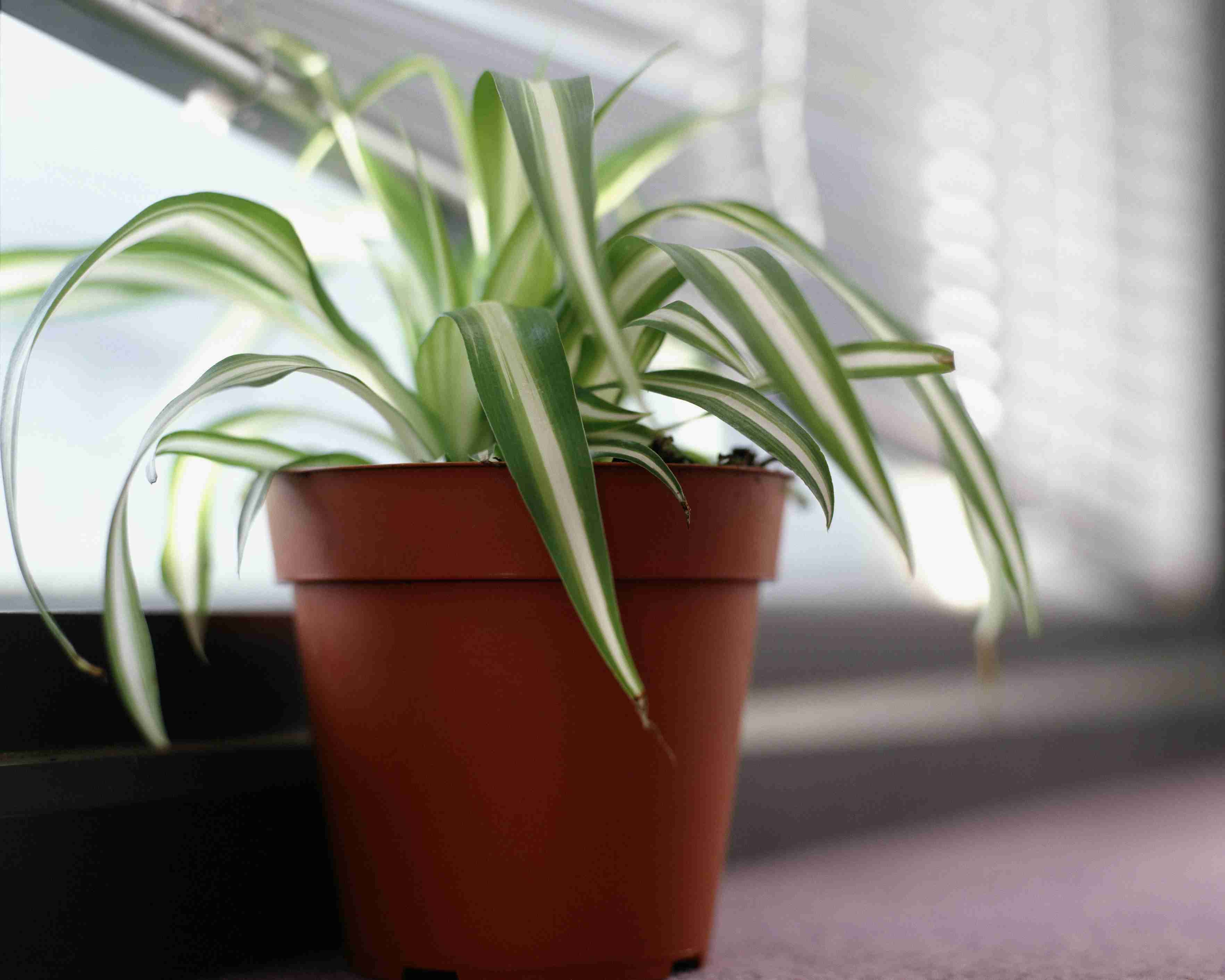 spider plant on windowsill 5b517b73c9e77c e1874