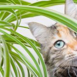 House Plants Non toxic to Cats Elegant Spider Plant toxicity Will Spider Plants Hurt Cats