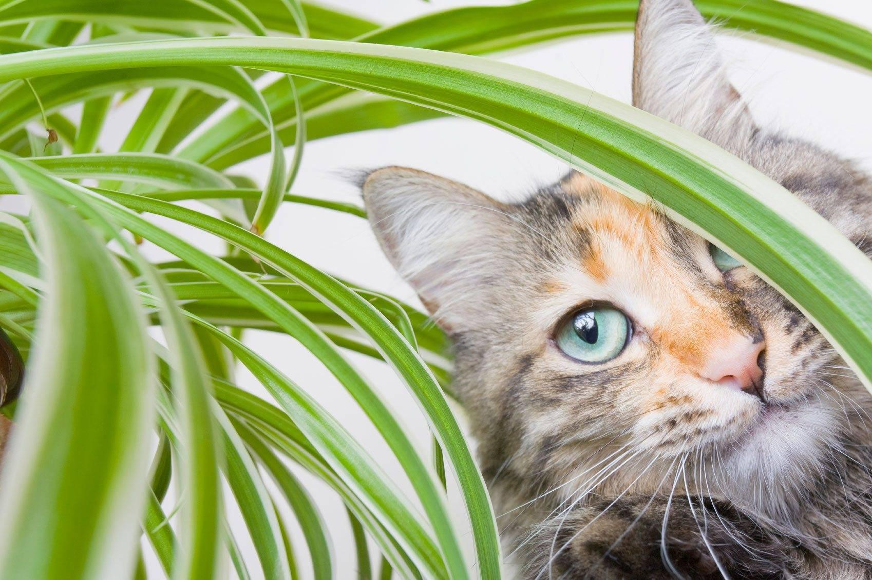 cat spider plant