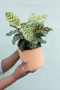 House Plants Non toxic to Cats Inspirational the Zen Succulent Calathea Plant House Plants