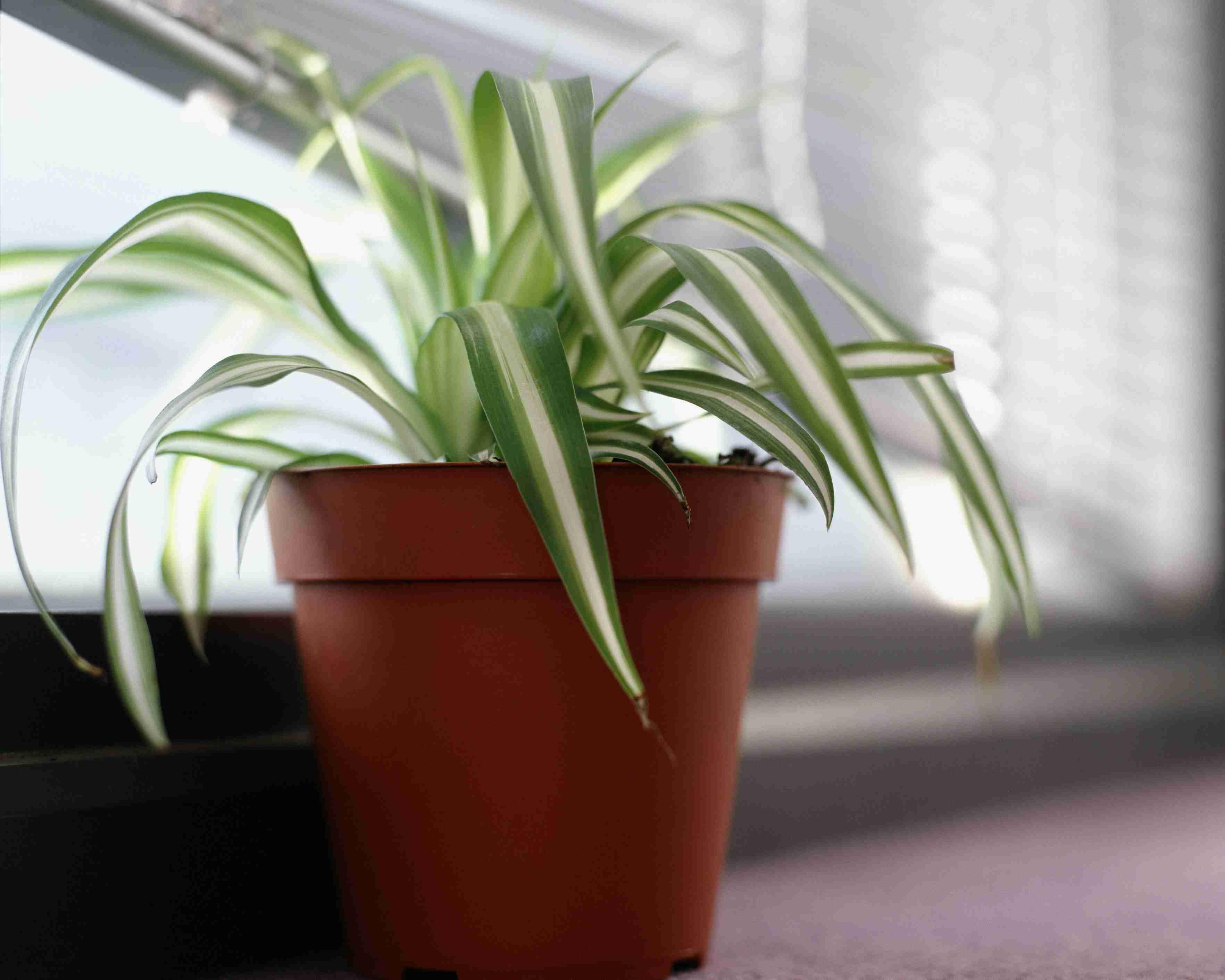 spider plant on windowsill 5b517b73c9e77c e1874