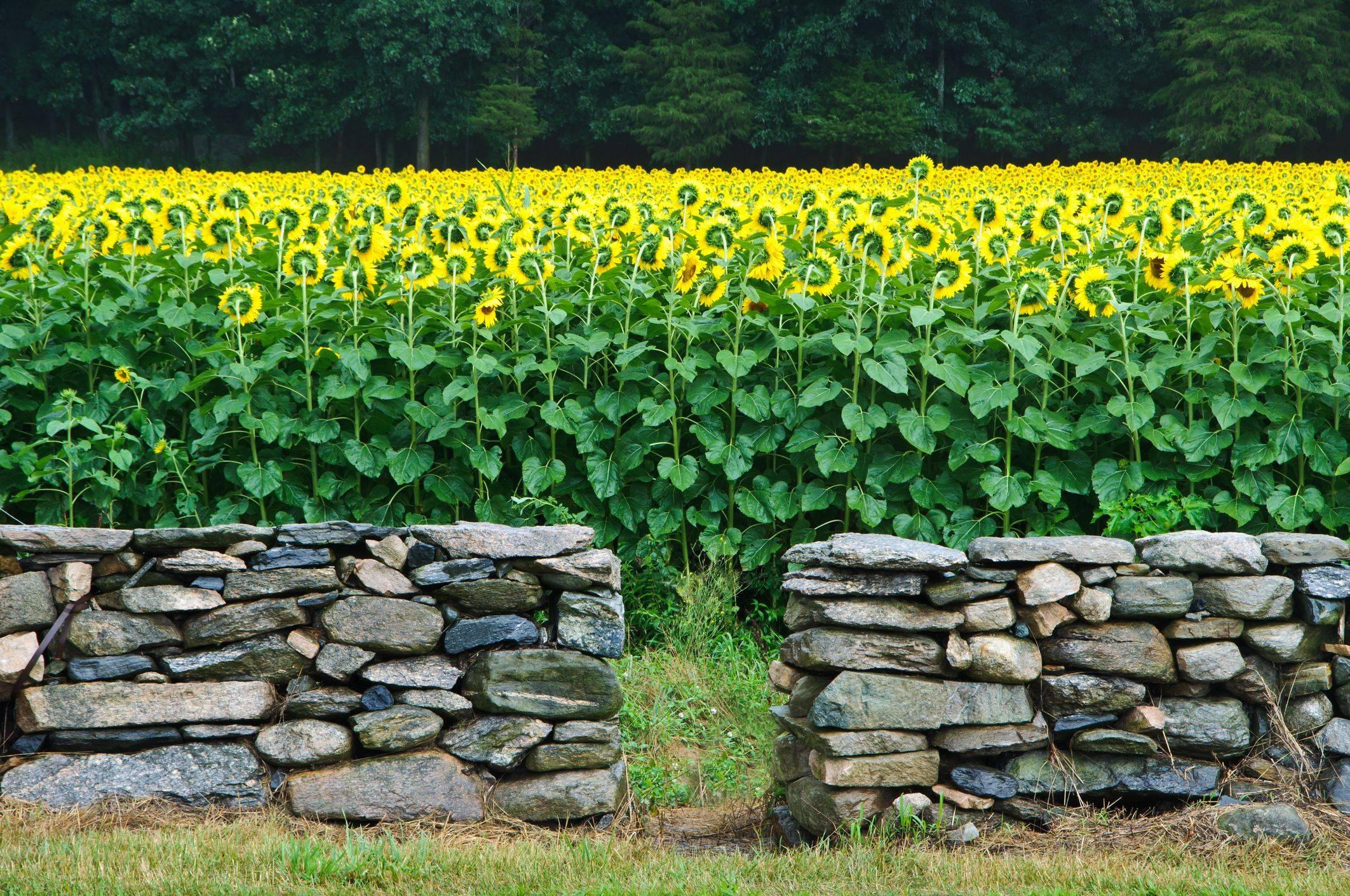 stone wall w sunflowers big 5a4befe c8f13f