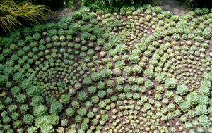 Succulent Landscape Design Luxury Hens & Chicks Sempervivum