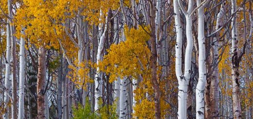 Aspen Tree Wallpaper Awesome Autumn Birch Trees …