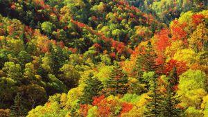 Aspen Tree Wallpaper Fresh Japan Autumn Colors forest 2560x1440 Autumn Colors