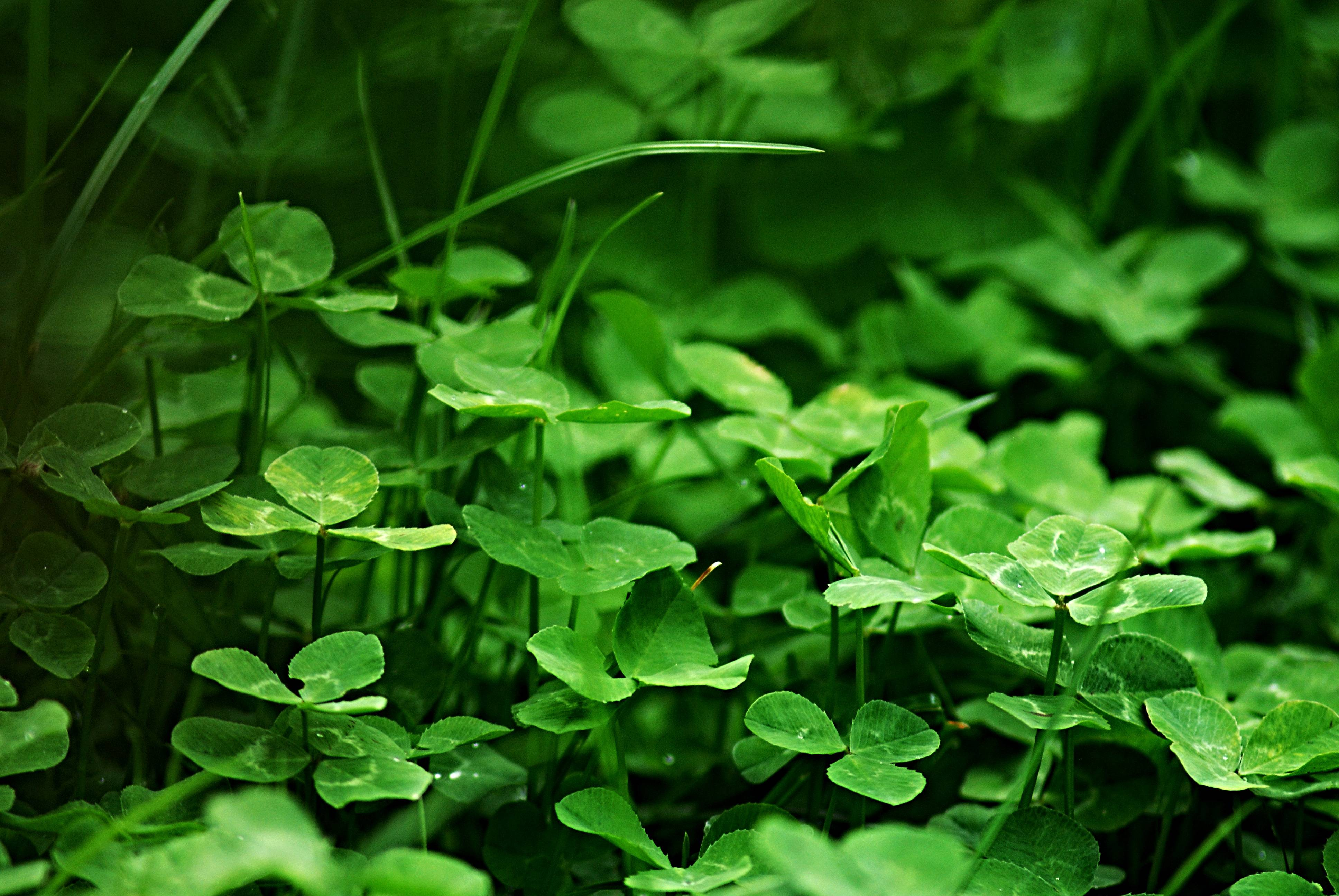 grass plant lawn leaf flower green herb macro botany flora clover wildflower blade of grass flowering plant annual plant land plant apiales centella trifolieae