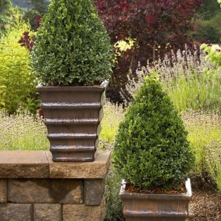 Best Of Small Trees for Front Of House Beautiful Green Mountain Boxwood Best for Winter Front Of House X 3