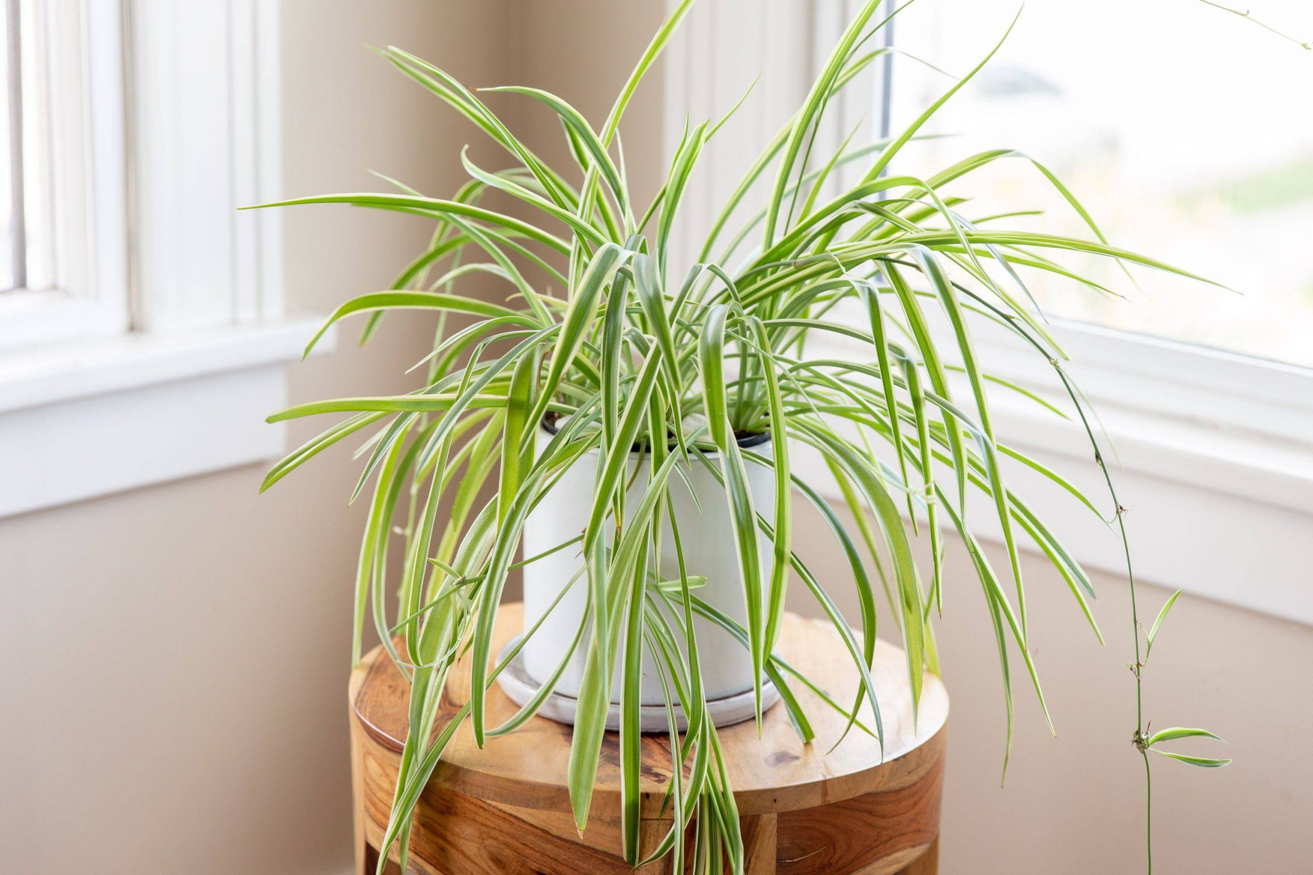 spider plants chlorophytum definition 01b 353dd3aab6e dc0b82d