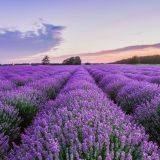 Picturesque Lavender Shade Fresh 1361 Best Lavender Images In 2020