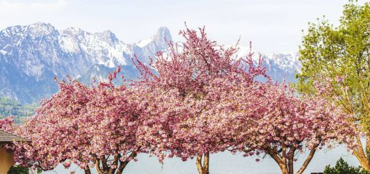 Cherry Blossom Kitchen Inspirational Home Depot is Selling Ready to Plant Cherry Blossom Trees