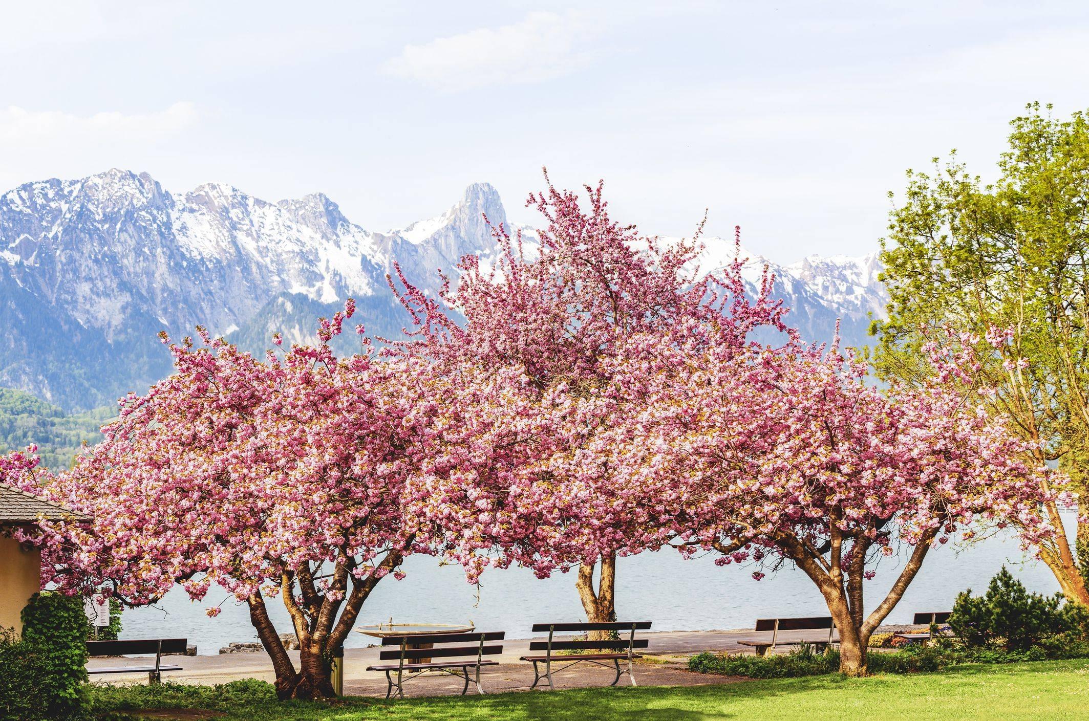 blooming pink japanese cherry or sakura flowers royalty free image