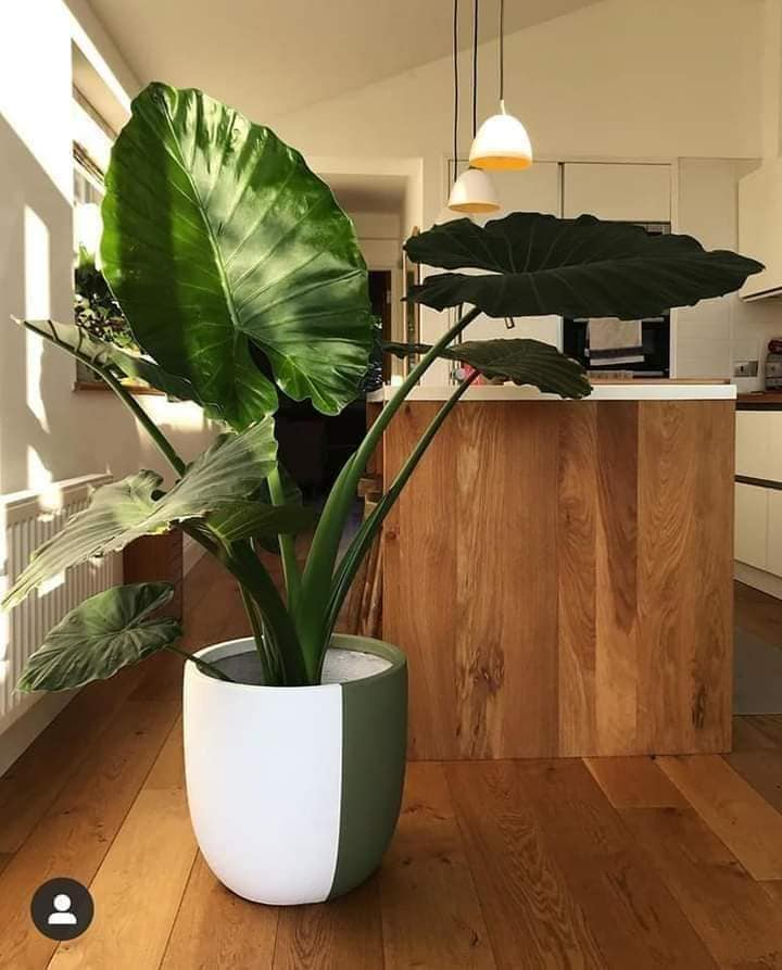 viral-taro-house…tifuly-and-fresh